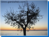 Olive tree on Lake Garda